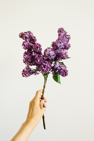 Hand holding a branch of purple lilac on white background 版權商用圖片