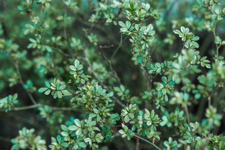 small green leaves of the Bush on nature background, texture Banco de Imagens