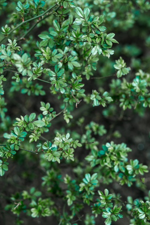 small green leaves of the Bush on nature background, texture Standard-Bild - 122886289