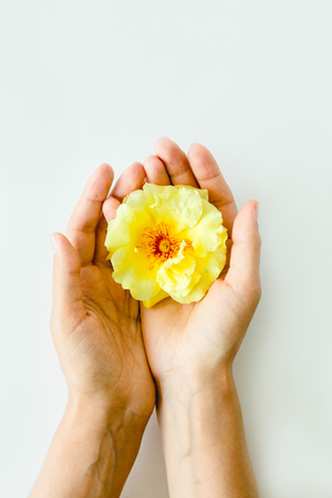 perfect yellow rose in hands on white background, nature flower 版權商用圖片