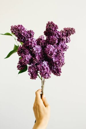 hand holding a branch of beautiful purple lilac 版權商用圖片