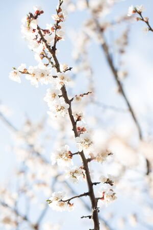 Beautiful flowering apricot tree in spring time in forest