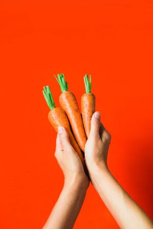 A bunch of fresh carrots in hand on red background. Rustic style. Farming.