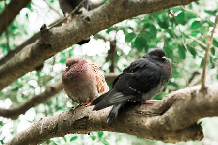 pigeons sitting on a tree branch in the Park, summer time