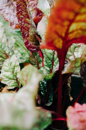 young multicolored beet leaves in the garden Archivio Fotografico