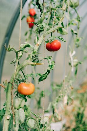 greenhouse with lots of young colorful tomatoes Stock Photo