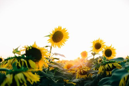 a field of beautiful bright colors of sunflowers in the sunset time