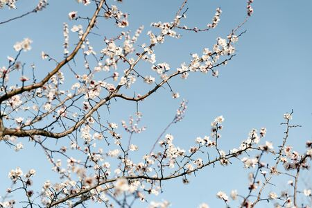 many beautiful, delicate, white flowers of a blooming apricot on a branch, in early spring against a blue sky