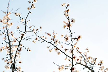beautiful, tender, pink flowers of a blooming apricot on a branch, in early spring against the blue sky