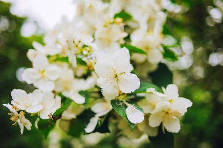 Tropical White Flower, Sampaguita Jasmine, With Natural Blurred ...