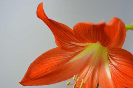 Beautiful and bright orange amaryllis buds bloomed this winter. Speckled flowers growing from a bulb in a crimson, pink pot.