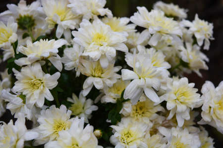 Bright colorful autumn flowers, unusual shape and texture. White wedding chrysanthemums brighten life in one bouquet.