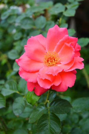 Bright unraveled bud of pink roses and large petals, very bright in color against a background of greenery and plants.