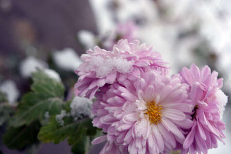 Bright gentle autumn chrysanthemum flowers on which fluffy white snow fell.