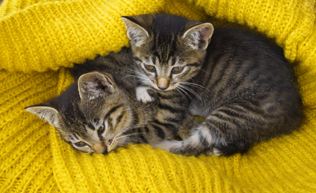 Two striped kittens are wrapped in a yellow knitted scarf. Seals play. Friendship of pets. The cat warms itself in the cold autumn. A mans house friend.