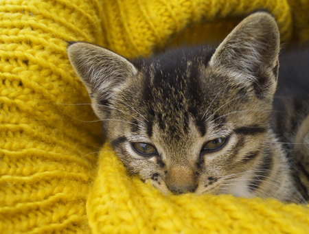The striped kitten is wrapped in a yellow knitted scarf. The cat warms itself in the cold autumn. Pet. Archivio Fotografico