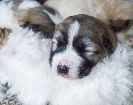 Alabai puppy. Thoroughbred fluffy pet. Basket for animal