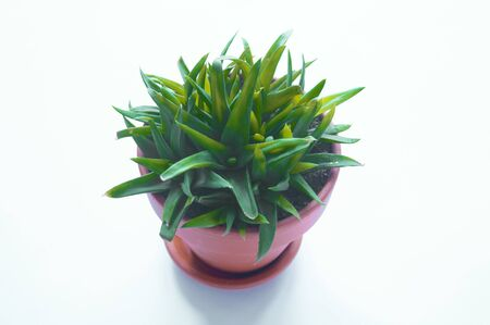 Succulent in a pot. Fresh flower Collection.