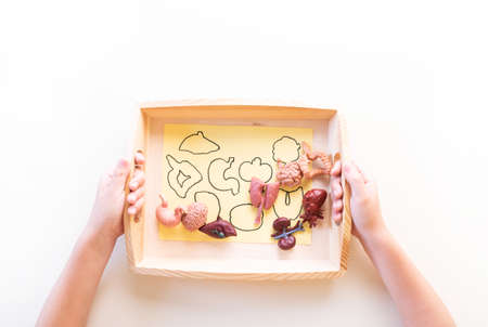 Montessori material human biology on white