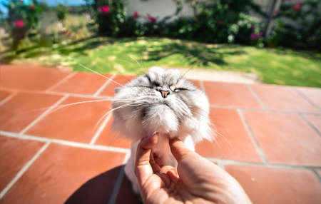 Happy persian chinchilla cat likes being stroked by womans hand.