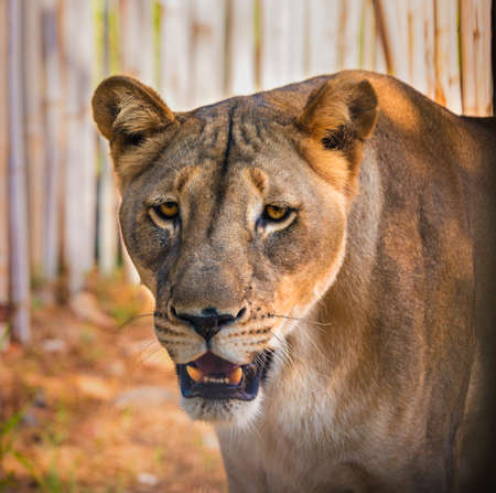 Close up head portrait of beautiful lioness with opened mouth looking at camera Banco de Imagens