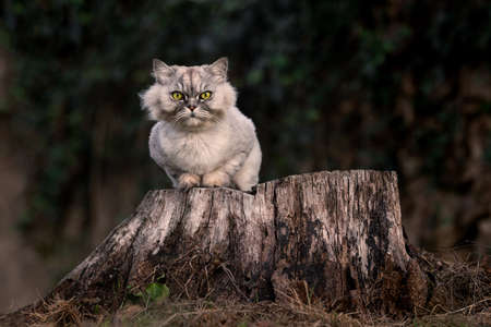 Playful grey groomed persian chinchilla purebred cat with green eyes sitting on a tree stump outside in the forest at sunset.