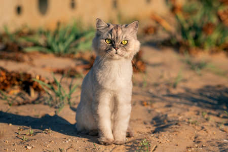 Cute grey groomed purebred cat with big green eyes sitting on the sand outside at sunset