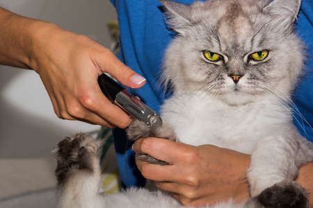 Woman cuts domestic purebred cat claws with clipper or trimmer. Animal Grooming. Pet claw care.