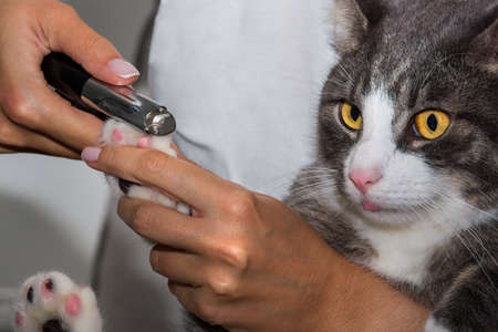 Woman cuts domestic funny cat claws with clipper or trimmer. Animal Grooming. Pet claw care.