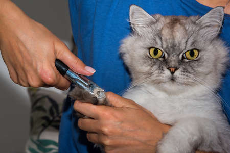 Woman cuts domestic purebred cat with big green eyes claws with clipper or trimmer. Animal Grooming. Pet claw care.