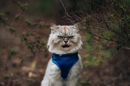 Funny cat with open mouth and tongue out sitting outside. Beautiful cat with blue harness sitting in the forest.