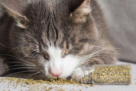 Funny tabby cat eating and enjoying dried catnip or catmint. Herbs for cats