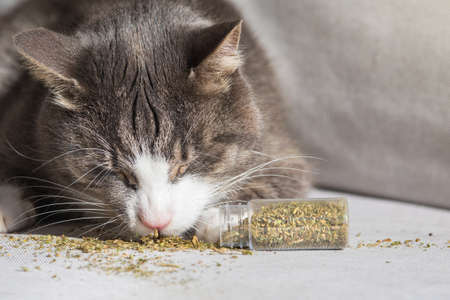 Funny domestic cat eating and enjoying dried catnip