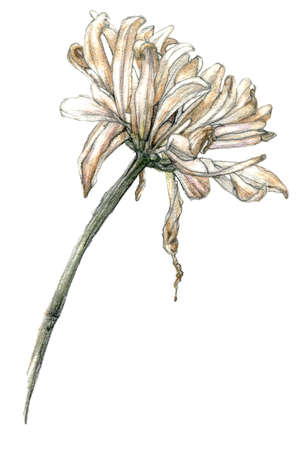 Pencil sketch, illustration of gerbera, hand-drawn in pale colors, isolated on a white background. 版權商用圖片