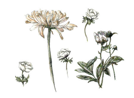 Pencil sketch, illustration set of diferent flowers, hand-drawn in pale colors, isolated on a white background.