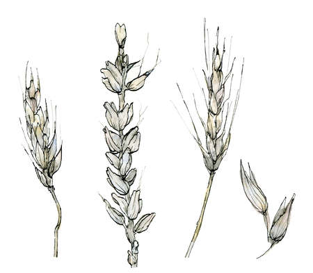 Collection of watercolor cereals. Illustration of delicate pastel, beige rye and grain in the sketch style. Elegant dried branches on a white background. Design of cards, invitations, covers and fabrics.