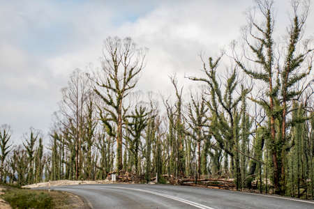 Australian bushfires aftermath: eucalyptus trees damaged by the fire recovering six months after severe bushfires . Imlay Road, NSW Reklamní fotografie