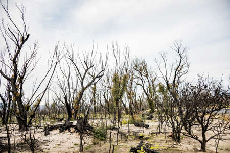 Australian bushfires aftermath: eucalyptus trees recovering after severe fire damage in Currowan fire. Eucalyptus can re-sprout from buds under their bark or from a lignotuber at the base of the tree 免版税图像