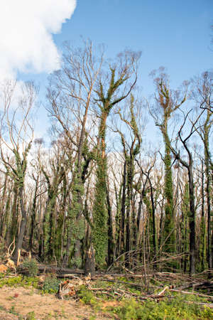 Australian bushfires aftermath: eucalyptus trees damaged by the fire recovering six months after severe bushfires . Imlay Road, NSW 免版税图像