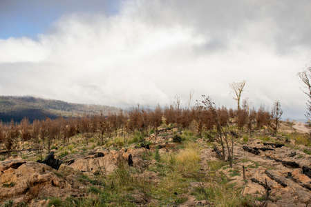 A young pine plantation burnt by bushfires near the Mount Imlay, NSW, Australia
