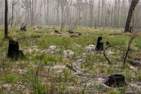 Australian bushfires aftermath: damaged bush with burnt tree stumps and fresh new green grass.