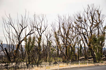 Australian bushfires aftermath: eucalyptus trees recovering after severe fire damage in Currowan fire six miths ago.
