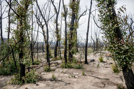 Australian bushfires aftermath: eucalyptus trees recovering after severe fire damage in Currowan fire. Eucalyptus can re-sprout from buds under their bark or from a lignotuber at the base of the tree Reklamní fotografie