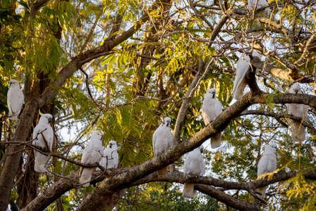 Sulphur-crested cockatoos seating on a tree. Urban wildlife. Australian backyard visitors