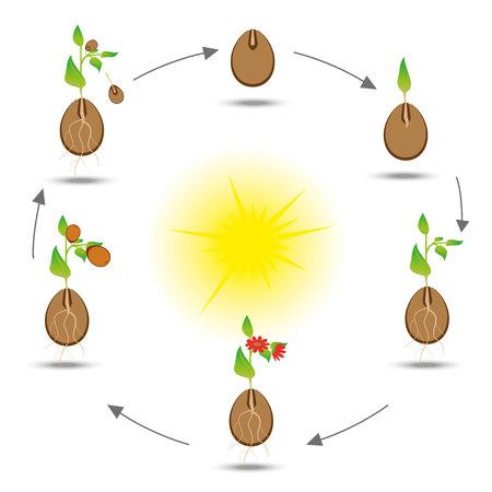 Ciclo di vita della pianta. schema di coltivazione delle piante. Vector botanico illustrazione.