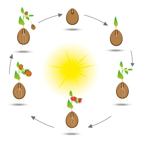 germinate: Life cycle of the plant. Plant cultivation scheme. Vector botanical illustration.