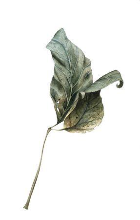 hojas secas: Acuarela dibujada mano Dry Autumn Leaves