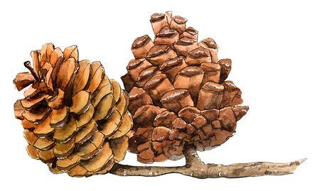 Fire cones, pinecone. Hand drawn watercolor illustration.