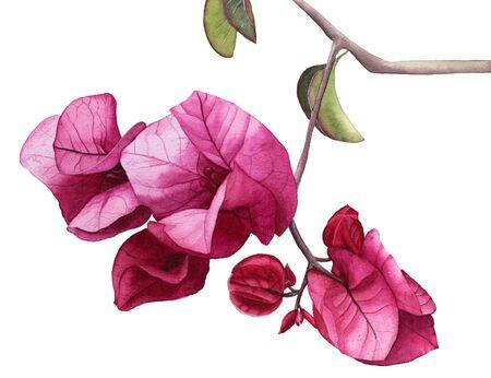 Watercolor flowers Pink Bougainvillea. Stock Photo