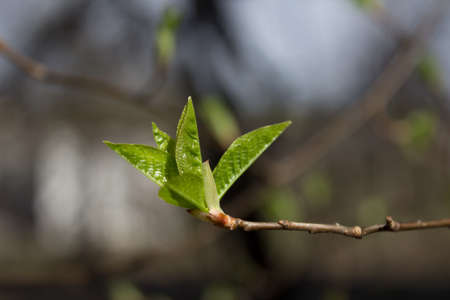 First sprout on tree branch. Nature awakening in spring. Horizontal view. Stock Photo